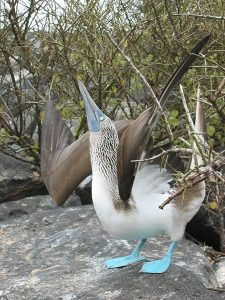 450px-Blue_footed_booby_courtship_display