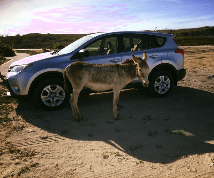 A wild donkey at Aruba's Baby Beach. Christina Hunting.