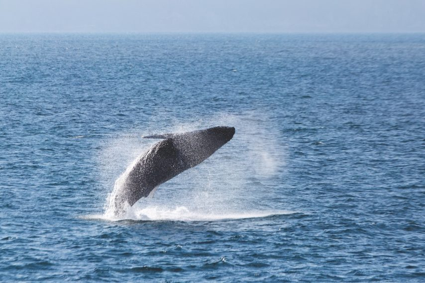 Whale-watching voyages with Silversea