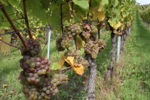 The riesling vines of Kroev