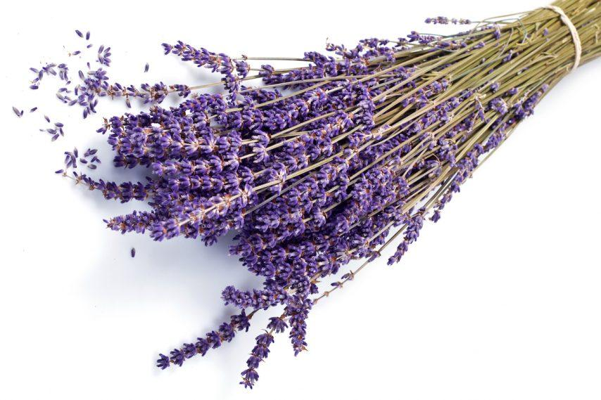 Lavender for essential oils