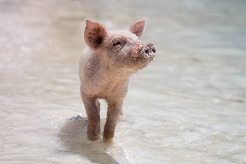 Swimming Pigs | Bahamas