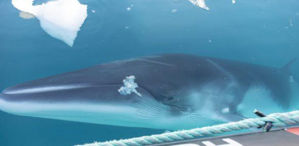 Hurtigruten Expeditions To Study and Protect Whales in Antarctica